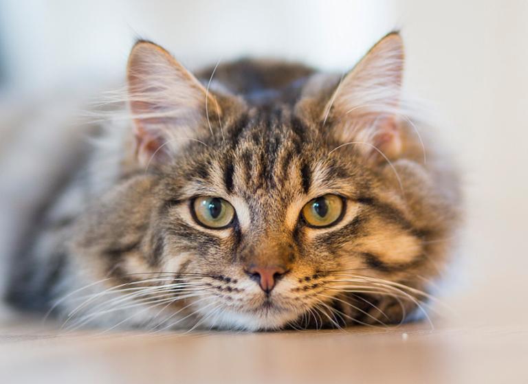 La teoría fundamental era que el gato había sido domesticado por los egipcios.   Foto referencial: Pexels.