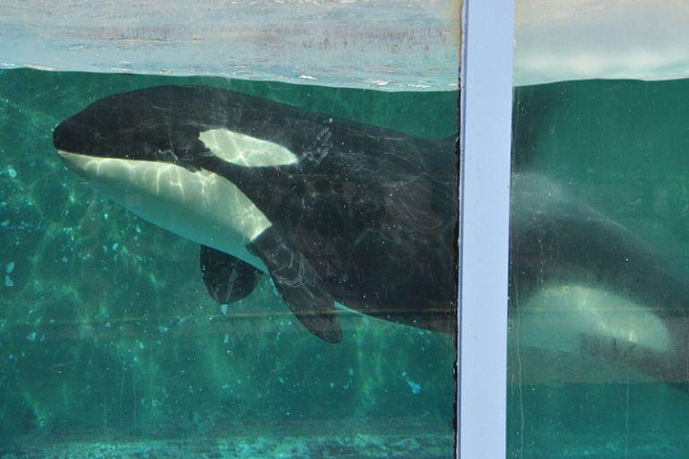 Los grupos conservacionistas llevan meses alertando sobre el precario estado de las 87 belugas, 11 orcas y 5 crías de morsa.
