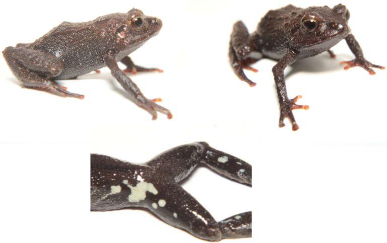 """Los dos nuevos tipos de ranas fueron bautizados con el nombre de """"Prismantis Cajanuma""""."""
