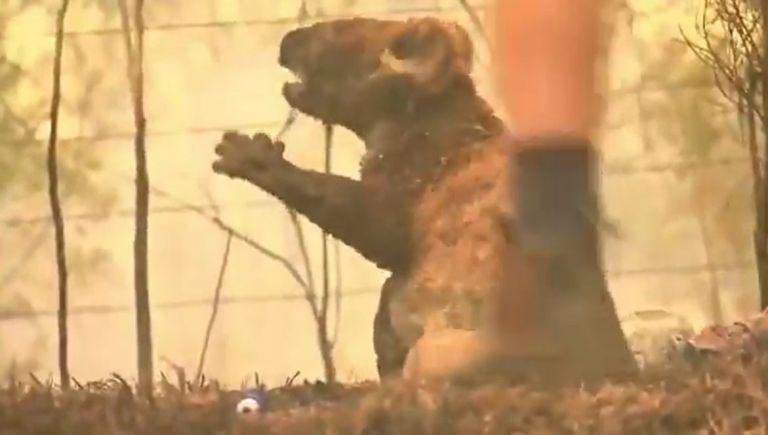 Hoy se ha hecho viral el video de una mujer que rescata a uno de estos marsupiales con quemaduras en su cuerpo.