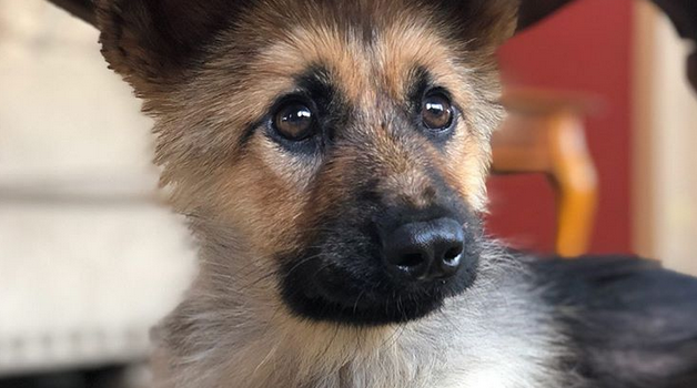 El perro afectado no es una variedad enana de Pastor Alemán sino un animal que sufre de una deficiencia hormonal.