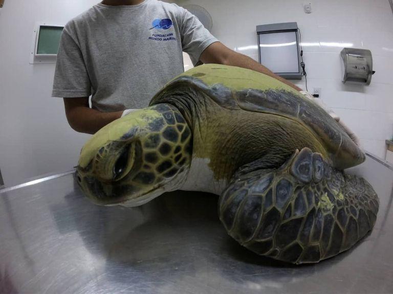 Se trata de una tortuga cuya especie está en peligro de extinción. Foto: Fundación Mundo Marino.