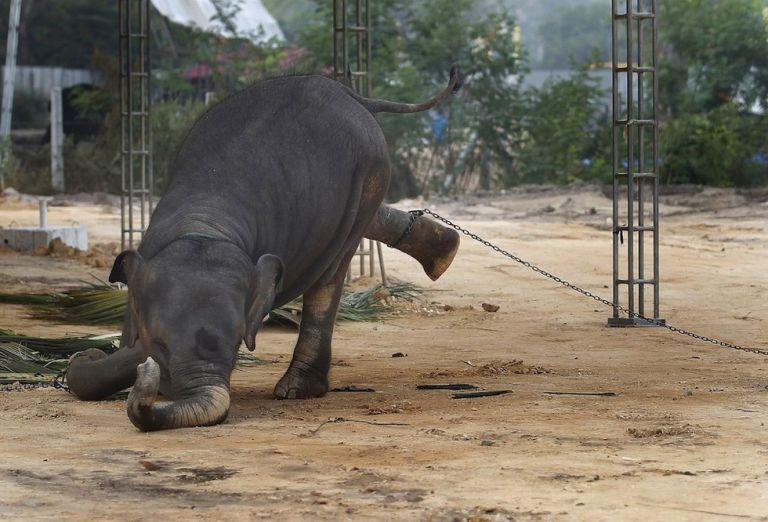 """Para amaestrar a los elefantes con fines turísticos, el mahout (domador) utiliza la técnica denominada del """"phajaan"""", que consiste en """"perturbarle la mente"""". Foto: Reuters."""