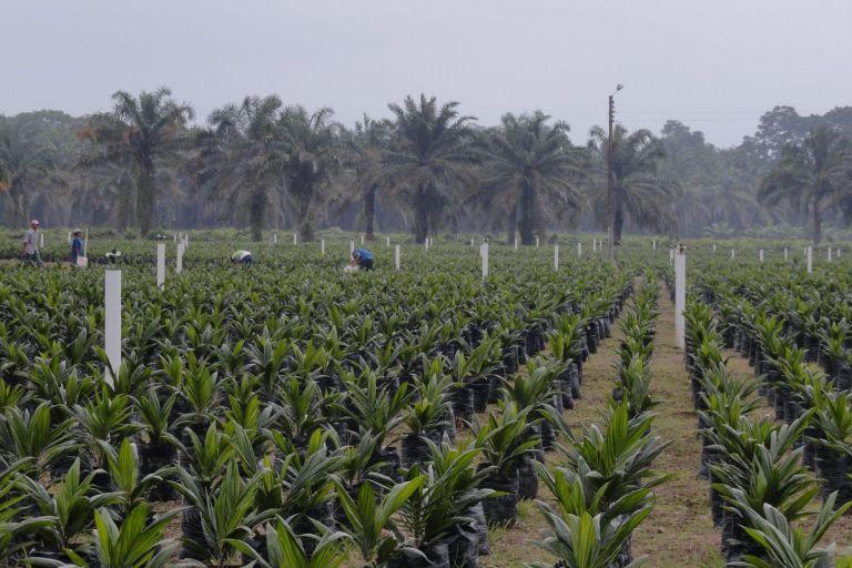 Hasta el 2018, había 267.760 hectáreas de palma aceitera en el Ecuador. Foto cortesía.