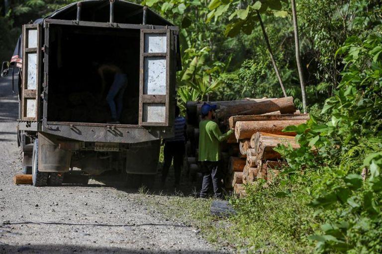 Aunque la balsa no está entre las especies protegidas, su tala está afectando la selva amazónica en Pastaza. La madera se moviliza en camiones. Foto: EFE.