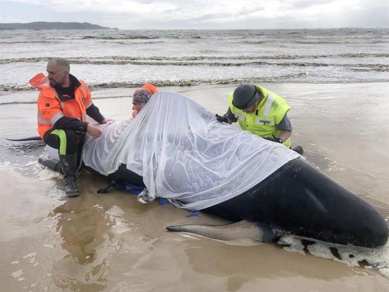 Los servicios de rescate descubrieron hoy 200 nuevos cetáceos en la costa de la isla de Tasmania. Foto: EFE.