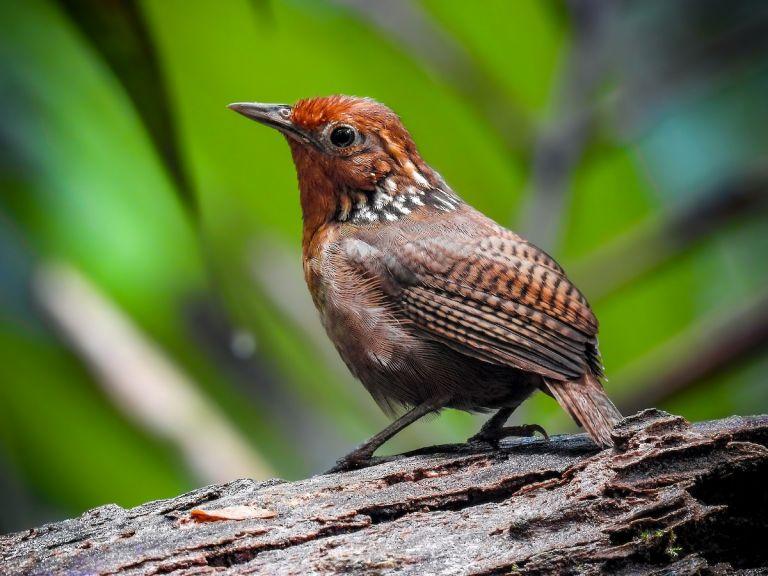 La población del llamado cucarachero musical o Cyphorinus arada, un pájaro considerado icónico del Amazonas, se encuentra en declive.