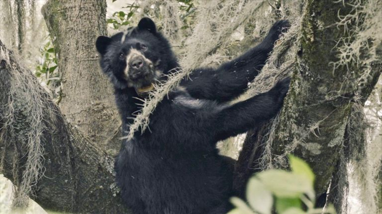 """""""La vida secreta del oso de anteojos"""", que se filmó en Imbabura, fue estrenado en Europa."""
