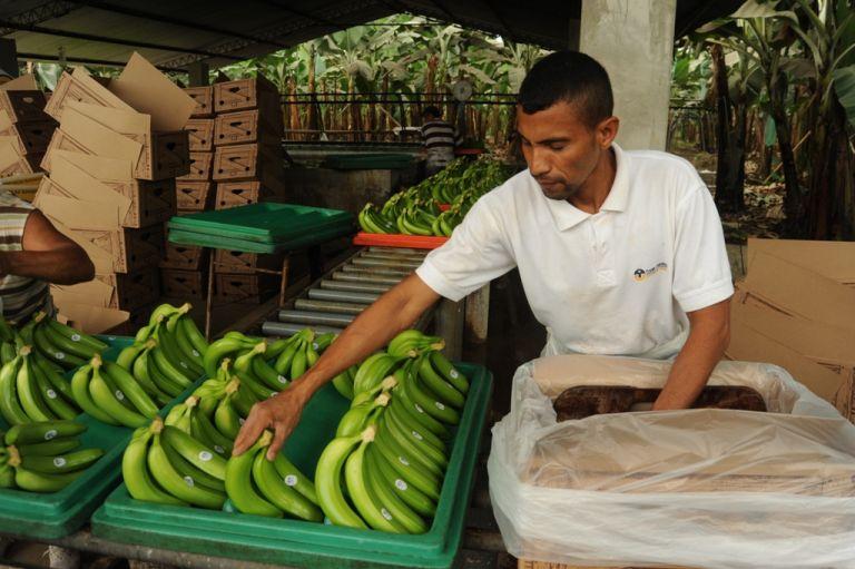 De enero a agosto del presente año, las exportaciones de banano representaron 2.611 millones de dólares para el Ecuador.