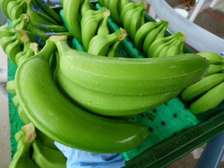 Ecuador mantiene su liderazgo como el principal exportador de banano en el mundo.