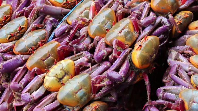Durante esta época se prohíbe en todo el país la captura, transporte, posesión, procesamiento y la comercialización del crustáceo. Foto: Cortesía.