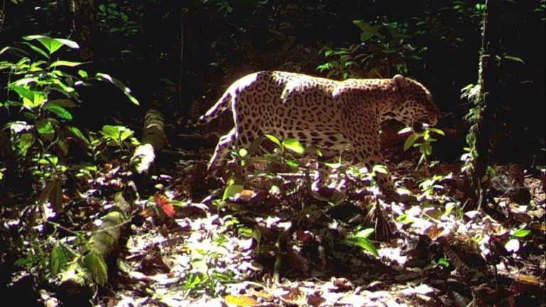 En América Latina, el 80 % de la población de jaguares vive en la Amazonía brasileña. Foto: WWF