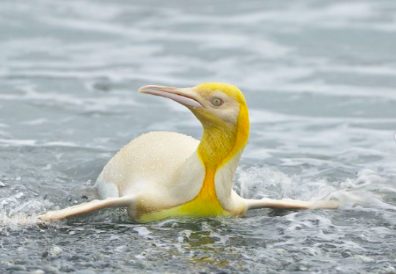 Yves Adams, fotógrafo belga de fauna salvaje, logró capturar al pingüino amarillo.
