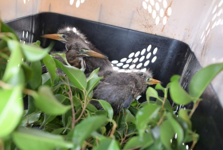 Los polluelos de garza permanecen en rehabilitación.