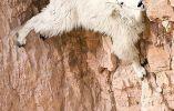 Las cabras parecen desafiar la gravedad. Están acostumbradas porque viven en un terreno muy escarpado y rocoso, en altitudes de hasta a 4.600 metros. Fuente: mott.pe