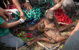 Un orangután con su bebé son rescatados por un equipo de la International Animal Rescue después de que fueron atacados por los aldeanos en el Kuala Satong en Indonesia. Foto: Isnaini Nurdin—International Animal Rescue