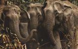 Elefantes hembra en naturaleza - Las elefantas utilizan la tierra para refrescarse y se mantienen juntas para proteger a sus crías. Parque Nacional de Kaziranga (Assam).