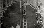 Leñadores junto la secuoya gigante Mark Twain talada en California, 1892
