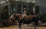 Niño sentado sobre un toro Hereford en California, 1926