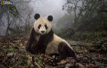 Conservación del panda