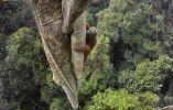 Orangután trepador
