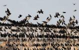 Estorninos migratorios se ven en el cielo de Beit Kama