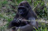 Un bebé de 10 días de edad gorila de tierras bajas en el zoológico de Dublín se ve aferrado a su madre Kafi en Dublín, Irlanda. Foto: Reuters